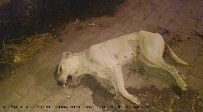 Akhisar'da Sütten kesilmemiş köpeği  yavrularıyla birlikte zehirlediler