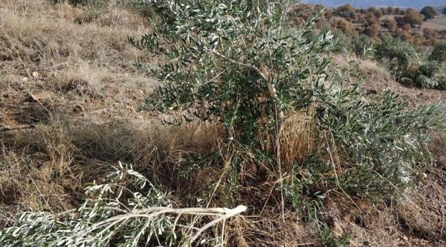 600'e yakın zeytin ağacını baltayla parçaladılar!