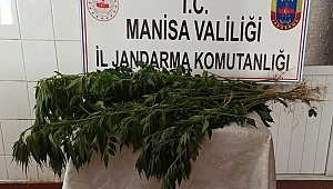 Jandarma ekili vaziyette  175  kök Hint keneviri yakaladı