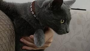 Kayıp evcil kedi sahibini arıyor